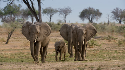 Elephant, Loxodonta africana. Selous Game Reserve, Tanzania.