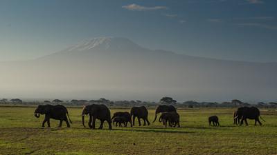 Savanna Elephants with Kilimanjaro, Loxodonta africana. Amboseli, Kenya.