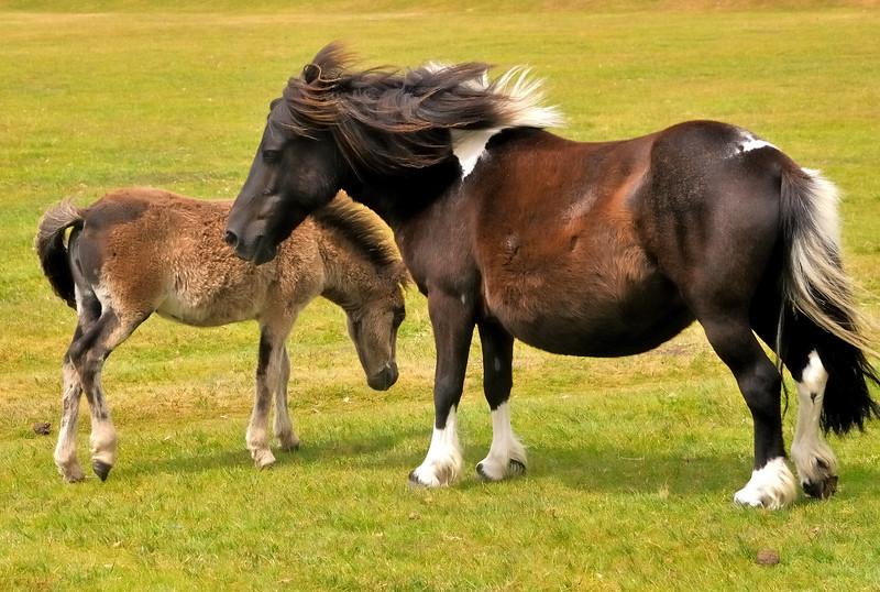 Ponies - Dartmoor, England