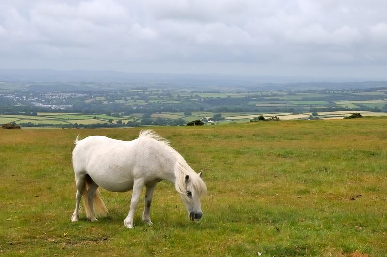 Pony - Dartmoor, England