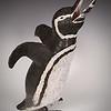 sn 664.  Galapagos Penguin