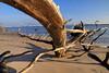 FL JACKSONVILLE BIG TALBOT ISLAND STATE PARK BONEYARD BEACH APRAB_MG_6347MMW