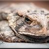 Grumpy Ole' Toad