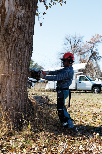 Matthew Gaston | The Sheridan Press<br>Joel Saur of Executive Branch Tree Service makes the first of two cuts to create a wedge. The purpose of the wedge cut is to make sure that the tree being removed falls in the desired direction.