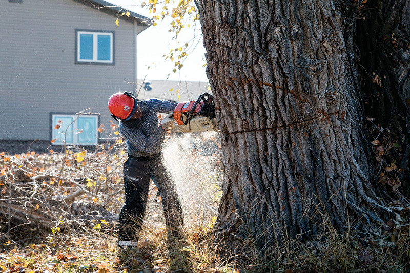 Matthew Gaston | The Sheridan Press<br>Joel Saur makes the second cut on a tree that is being removed at 1352 Avoca Place on account of center rot Tuesday, Oct. 16, 2018.