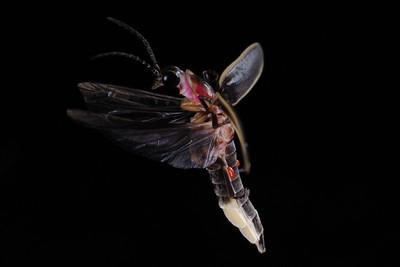 Firefly_2011_06_29_257