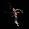 Firefly_2011-06-18_032