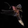 Firefly_2011_07_02_139