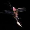 Firefly_2011-06-24_252