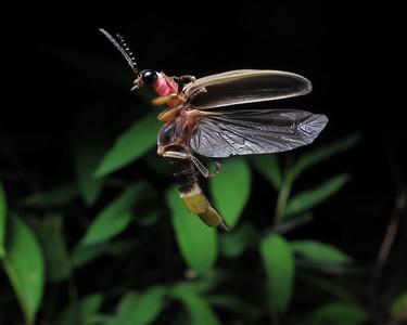 Firefly_2012_06_03_1218
