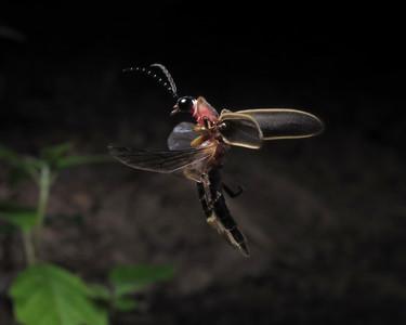 Firefly_2012_06_18_3050