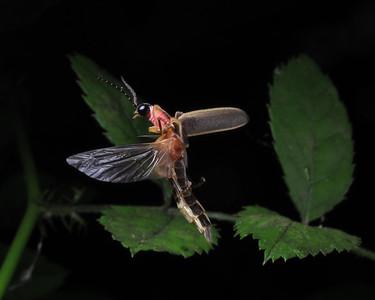 Firefly_2012_06_06_1868