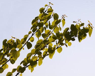 Katsura leaves, Kyoto