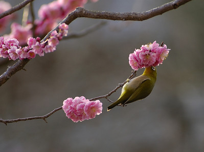 Shohoji temple in the Rakusai section of Kyoto has a wonderful plum grove. The bird is a Japanese White eye  メジロ. This scene was shot at twilight with a Nikon D70 and an old AF-D 80-200 push-pull lens @ 2.8. If I had a D700, I would have upped the ISO and gone to f4 for better sharpness.