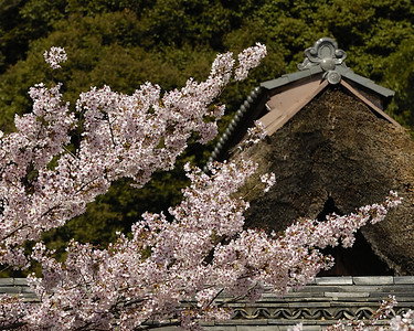 Sakura at Shojiji. The thatched roof is the Priest's Residence (kuri 庫裡).
