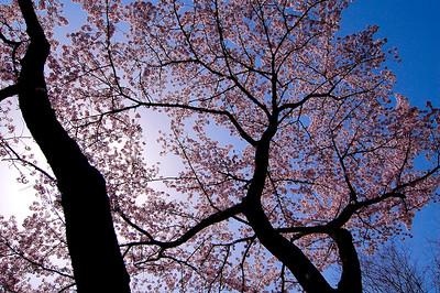 Shojiji Sakura