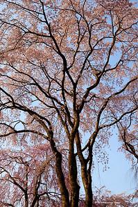 Sone sakura