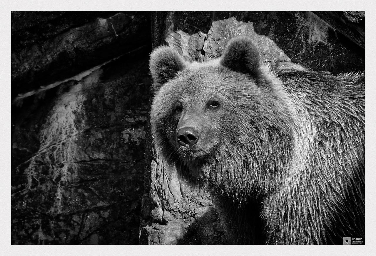 Bear in Copenhagen Zoo. / Bjørn i København Zoo.