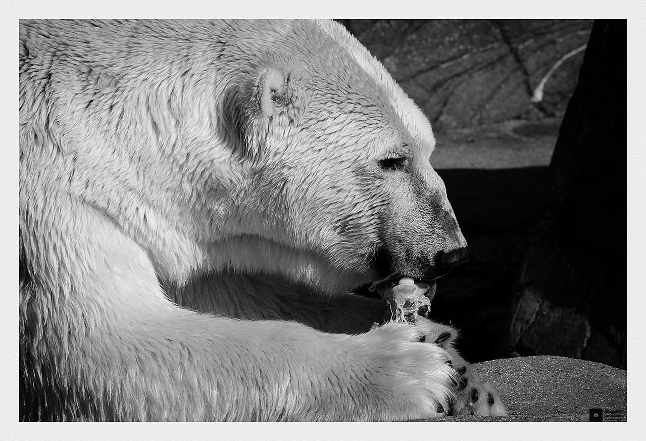 Polar bear in Copenhagen Zoo. / Isbjørn i København Zoo.