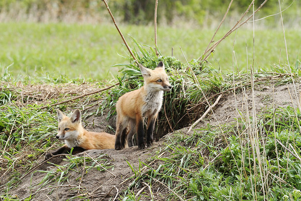 Red Fox Kits (Vulpes vulpes)