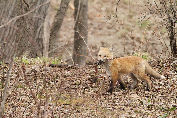 Red Fox Kit With Turkey Leg #2 (Vulpes vulpes)