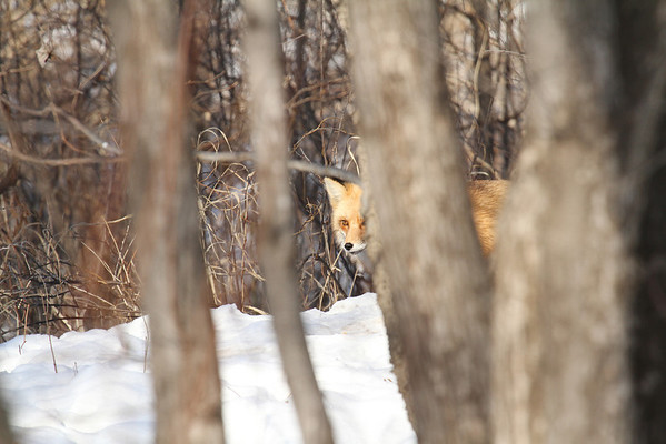Red Fox In The Trees (Vulpes vulpes)