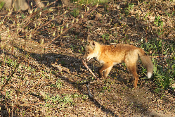Red Fox Kit With Turkey Leg #3 (Vulpes vulpes)