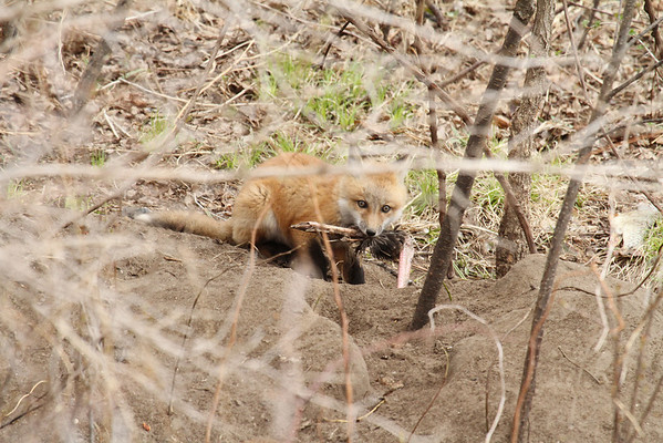 Red Fox Kit With Turkey Leg #1 (Vulpes vulpes)
