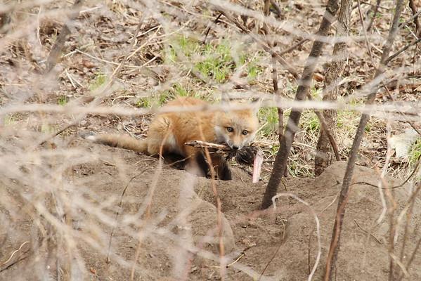 Red Fox Kit With Turkey Leg #1 (Vulpes vulpes)