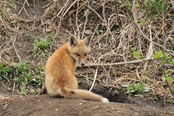 Red Fox Kit (Vulpes vulpes)