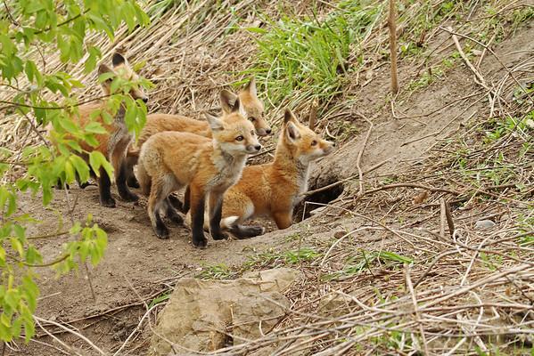 Red Fox Kits (Vulpes vulpes)