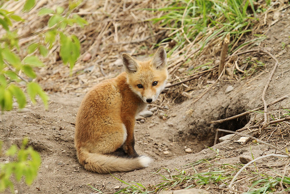 Red Fox Kit (Vulpes vulpes)