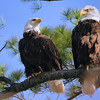 Eagle Pair, Ft. Miller, NY 4-21-16