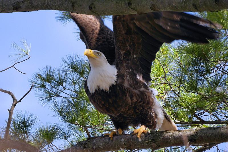 Bald Eagle, Ft. Miller, NY 4-21-16