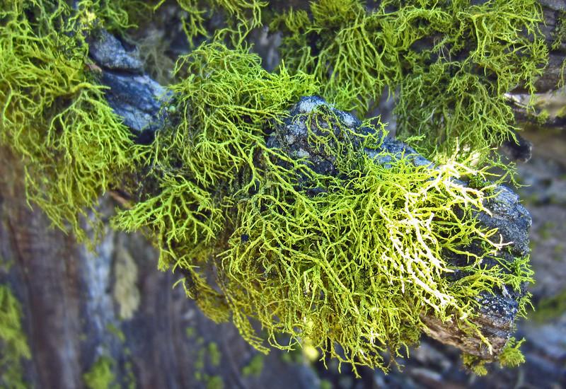 April 13, 2014.  Wolf's Bane Lichen, Pilot Rock, Cascade-Siskyou NM, Oregon.