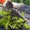 August 23, 2014.  Wolf's bane lichen at Green Springs Loop Trail adjacent to Cascade-Siskiyou NM, Oregon.