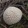 May 24, 2014.  Puffball at Pilot Rock in Cascade-Siskiyou NM, Oregon.