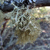 July 31, 2012.  Lichen at Upper Table Rock, Medford, Oregon.