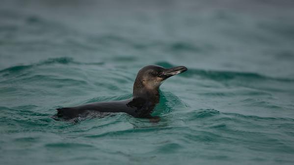 Galápagos Penguin, Spheniscus mendiculus. Isabela Is. Galápagos.