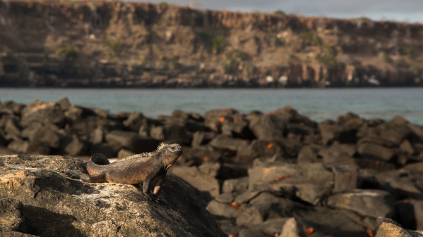 Marine Iguana, Amblyrhynchus cristatus. Mosquera Is. Galápagos.