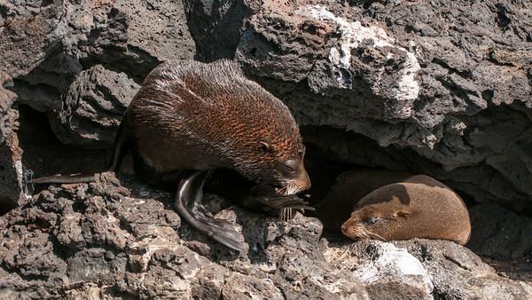 Galápagos fur seal, Arctocephalus galapagoensis. Egas Port, Santiago Is. Galápagos.
