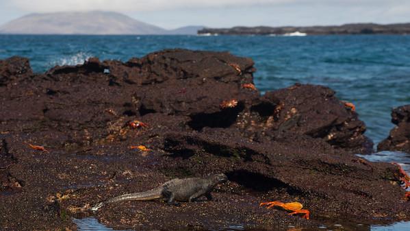 Marine Iguana, Amblyrhynchus cristatus. Sombrero Chino Is. Galápagos.
