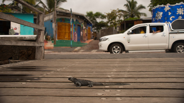 Marine Iguana Amblyrhynchus cristatus. Puerto Ayora, Santa Cruz Is. Galápagos.