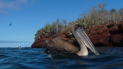 Brown pelican, Pelecanus occidentalis. Rabida Is. Galápagos.