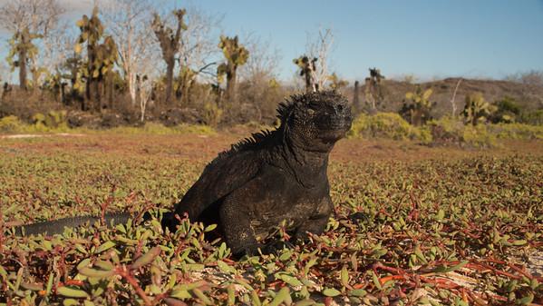 Marine Iguana, Amblyrhynchus cristatus. Dragon Hill, Galápagos.
