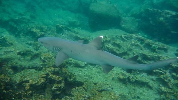 White-Tipped Reefshark, Triaenodon obesus. Bartolemé, Galapagos Is.