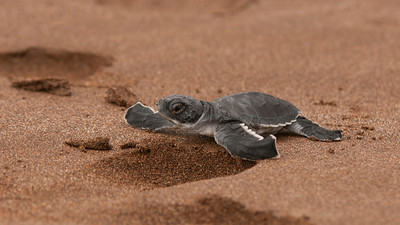 Pacific Green Turtle, Chelonia mydas agassisi. Espumilla Beach Santiago Is. Galápagos.