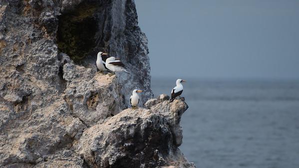 Masked Booby, Sula dactylatra. Buccaneer Cove, Santiago Is. Galápagos.