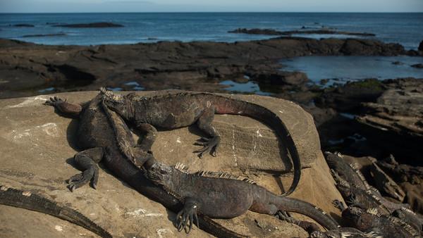 Marine Iguana, Amblyrhynchus cristatus. Egas Port, Santiago Is. Galápagos.