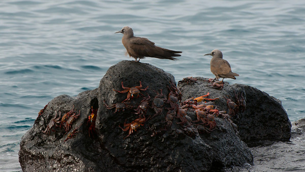 Brown Noddy, Anous stolidus. North Seymour Is. Galápagos.